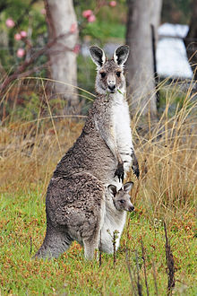 HQ Kangaroo Wallpapers | File 31.33Kb