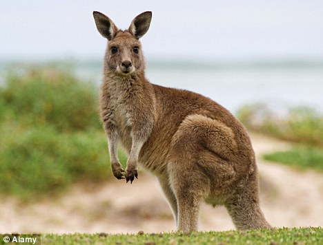 Kangaroo Backgrounds, Compatible - PC, Mobile, Gadgets| 468x356 px