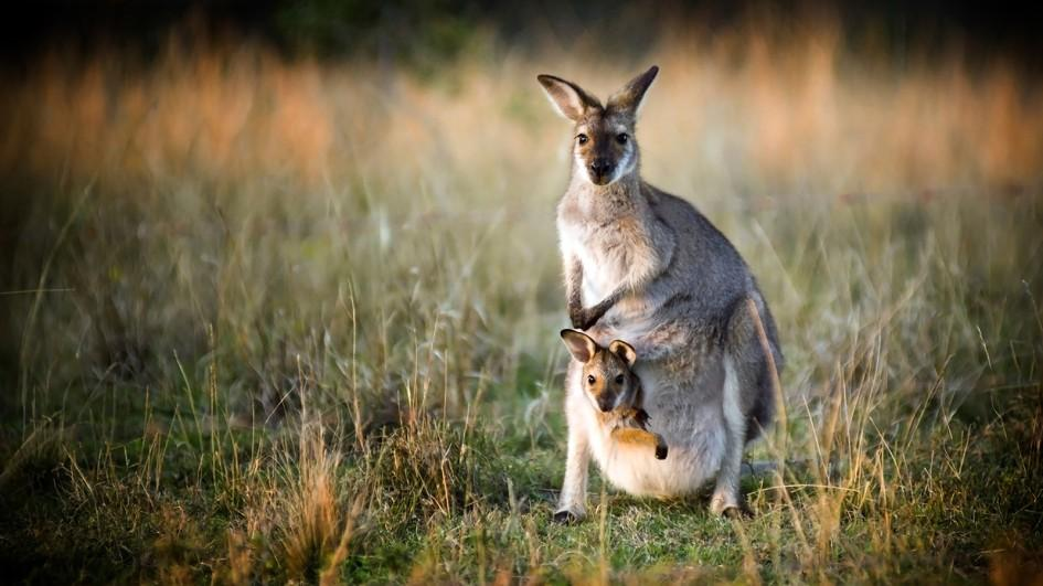 Nice Images Collection: Kangaroo Desktop Wallpapers
