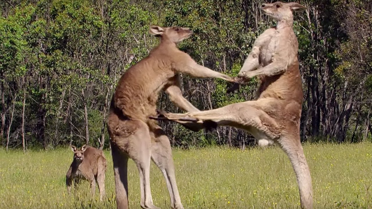 Kangaroo HD wallpapers, Desktop wallpaper - most viewed