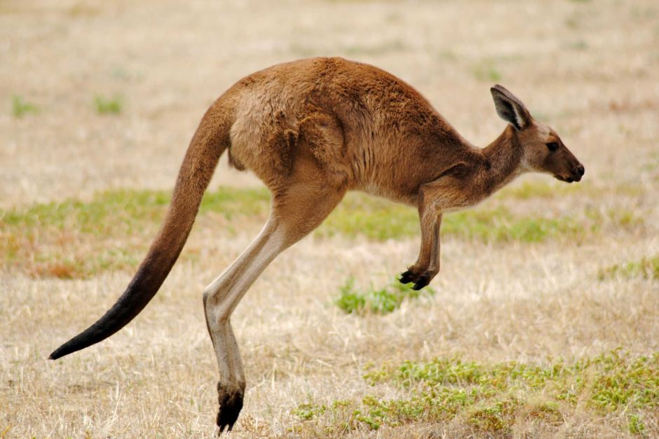 HD Quality Wallpaper | Collection: Animal, 940x627 Kangaroo