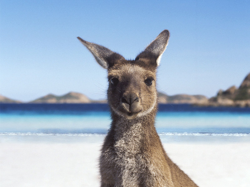 Kangaroo Backgrounds, Compatible - PC, Mobile, Gadgets| 800x600 px