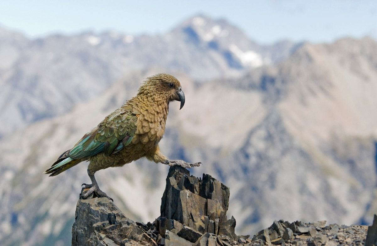 HD Quality Wallpaper | Collection: Animal, 1200x783 Kea