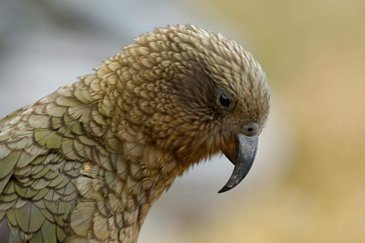 Kea Pics, Animal Collection