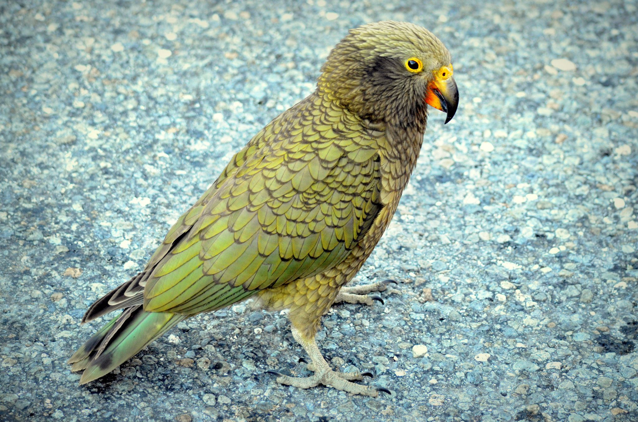 Kea High Quality Background on Wallpapers Vista