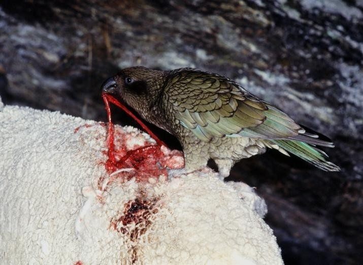 Images of Kea | 715x522
