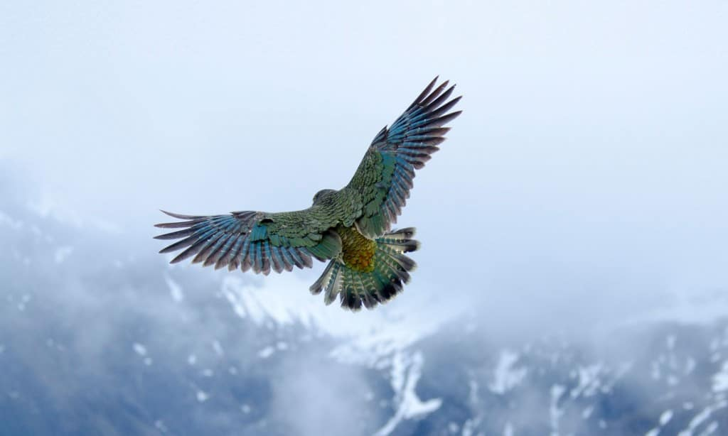 HD Quality Wallpaper | Collection: Animal, 1024x614 Kea