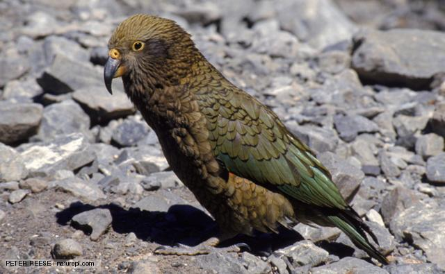 640x395 > Kea Wallpapers