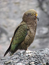 HD Quality Wallpaper | Collection: Animal, 170x227 Kea
