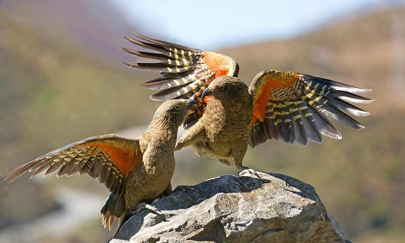 High Resolution Wallpaper | Kea 800x480 px