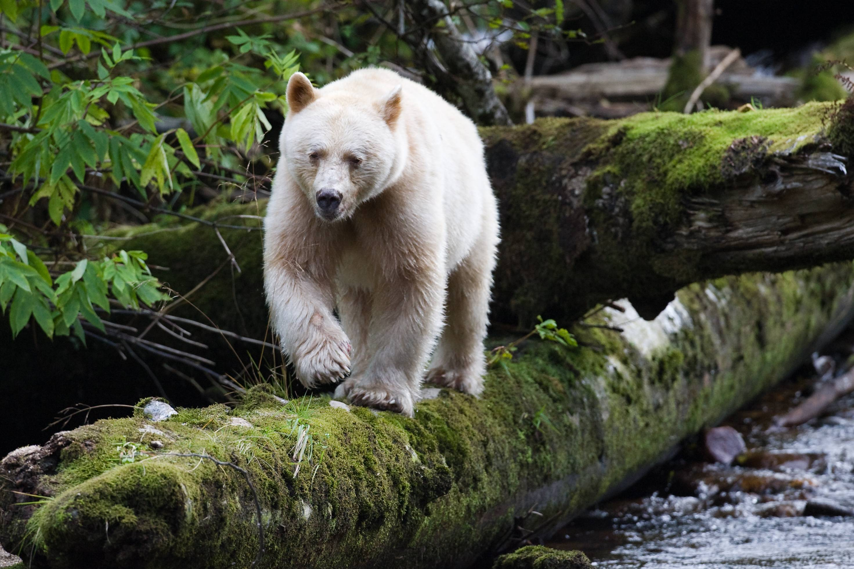 Kermode Bear High Quality Background on Wallpapers Vista