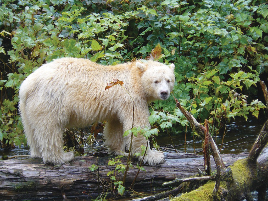 Amazing Kermode Bear Pictures & Backgrounds
