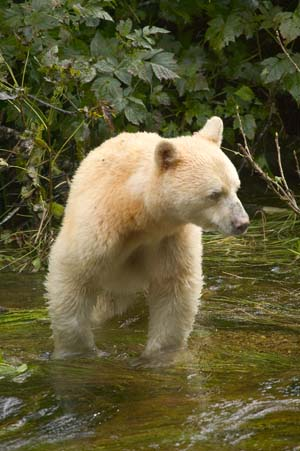 Kermode Bear Backgrounds on Wallpapers Vista