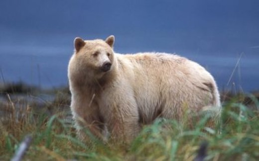 Kermode Bear Pics, Animal Collection