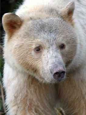 Kermode Bear HD wallpapers, Desktop wallpaper - most viewed