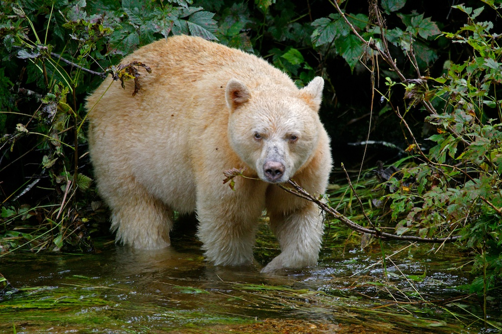 Nice wallpapers Kermode Bear 1024x681px