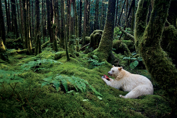 Nice wallpapers Kermode Bear 615x410px