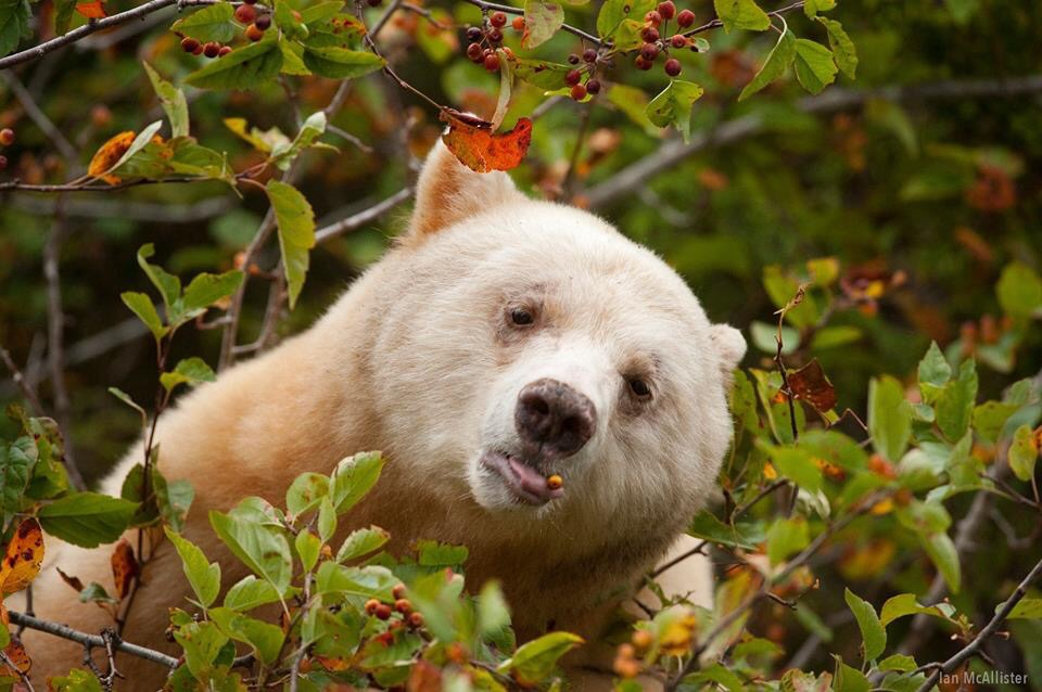 960x638 > Kermode Bear Wallpapers
