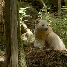HQ Kermode Bear Wallpapers | File 14.91Kb