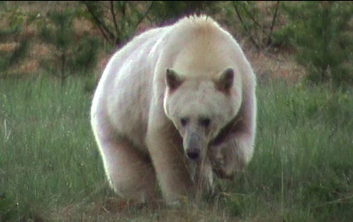 Images of Kermode Bear | 500x314