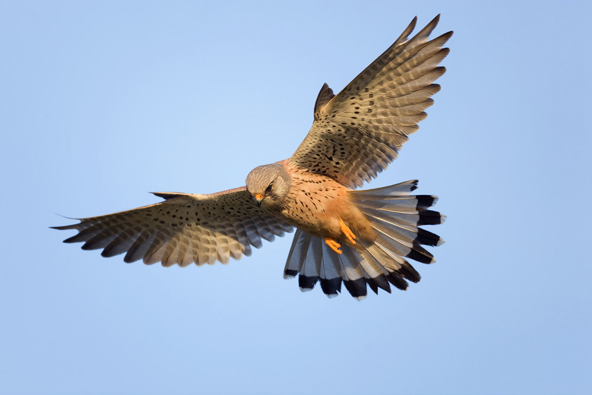 HD Quality Wallpaper | Collection: Animal, 1200x800 Kestrel