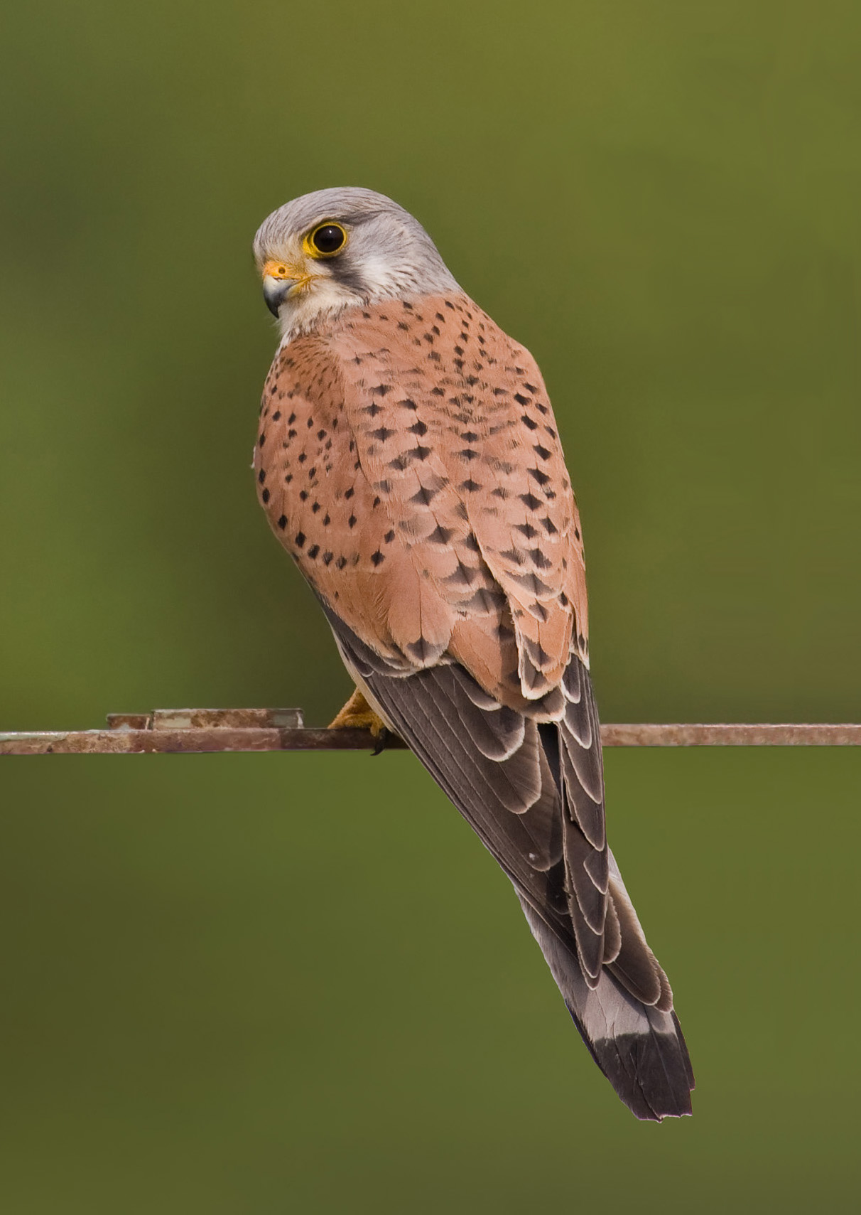 Images of Kestrel | 1212x1709