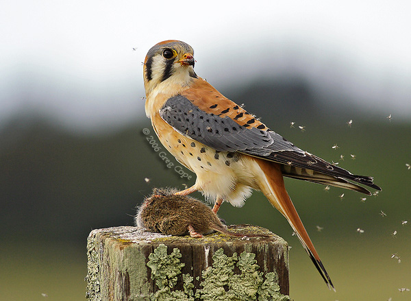 HD Quality Wallpaper | Collection: Animal, 600x439 Kestrel