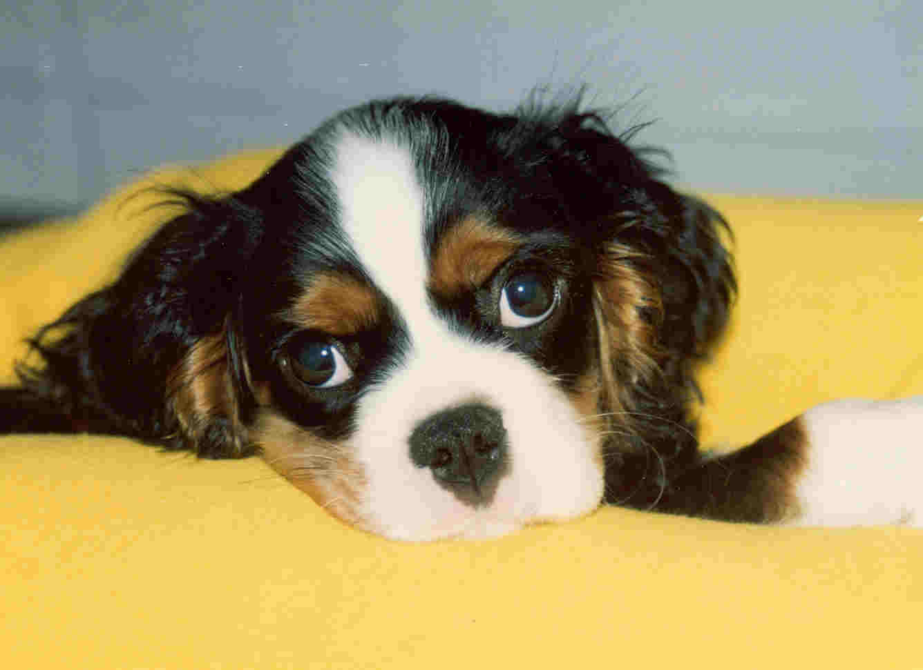 King Charles Spaniel High Quality Background on Wallpapers Vista