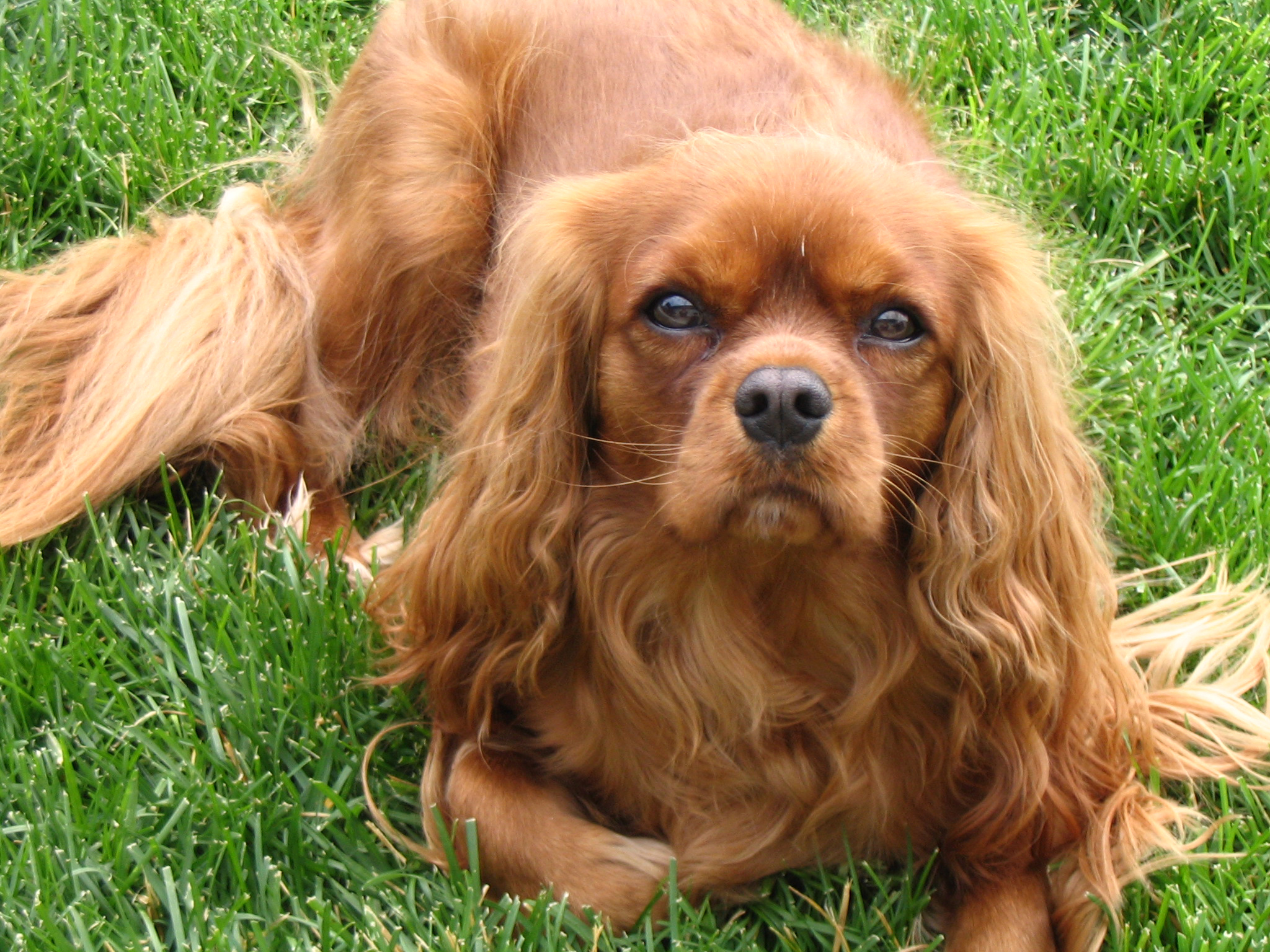 Images of King Charles Spaniel | 2048x1536
