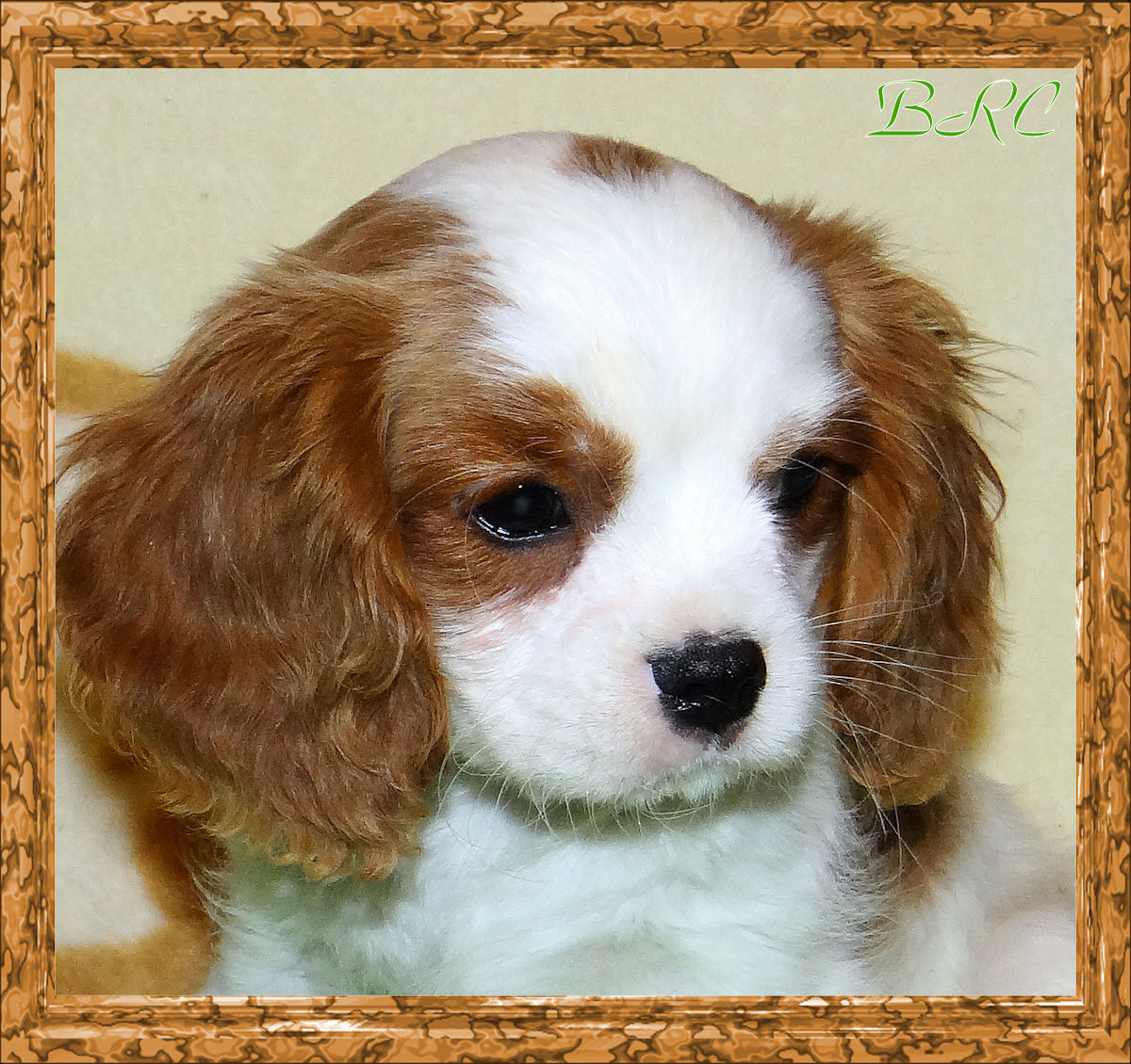 Nice Images Collection: King Charles Spaniel Desktop Wallpapers