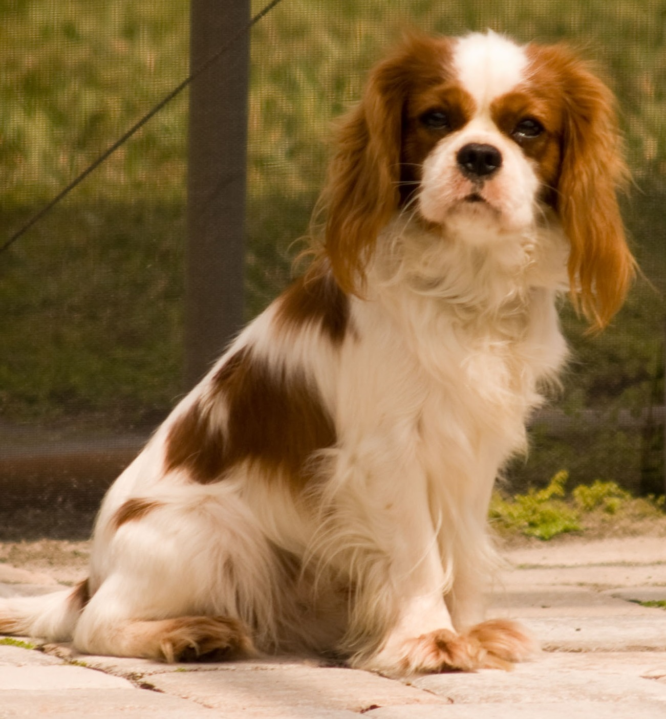King Charles Spaniel HD wallpapers, Desktop wallpaper - most viewed