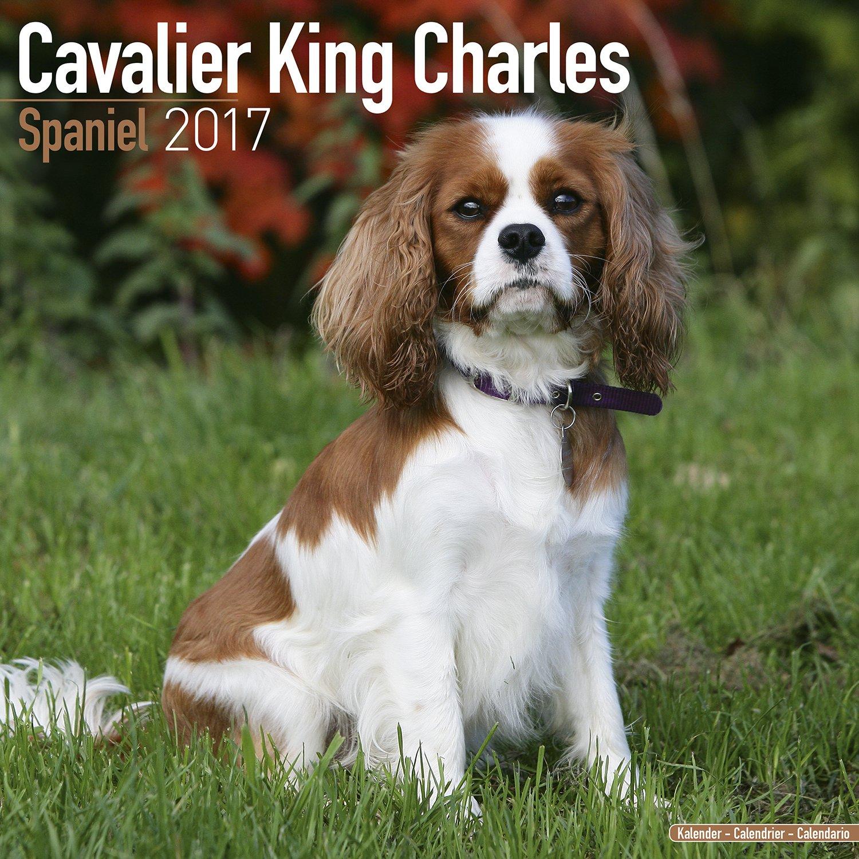 King Charles Spaniel #10