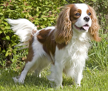 Nice wallpapers King Charles Spaniel 417x351px