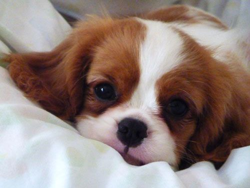 Nice wallpapers King Charles Spaniel 500x375px