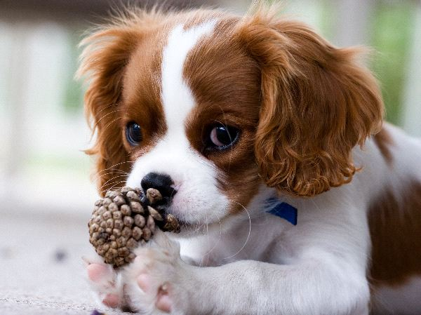 King Charles Spaniel Backgrounds, Compatible - PC, Mobile, Gadgets| 600x449 px