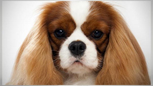 Images of King Charles Spaniel | 640x360