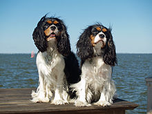 King Charles Spaniel Backgrounds on Wallpapers Vista