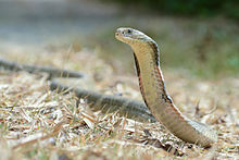Images of King Cobra | 220x147