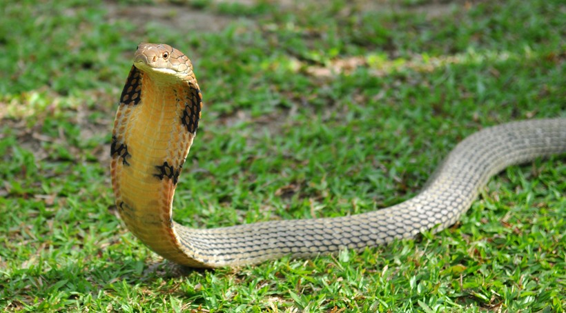 King Cobra Backgrounds, Compatible - PC, Mobile, Gadgets| 820x454 px