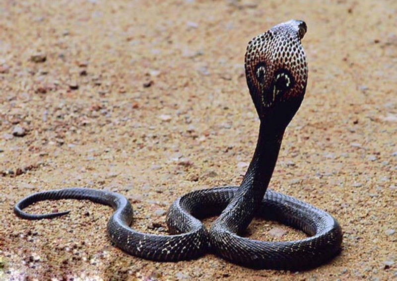 HD Quality Wallpaper | Collection: Animal, 800x566 King Cobra