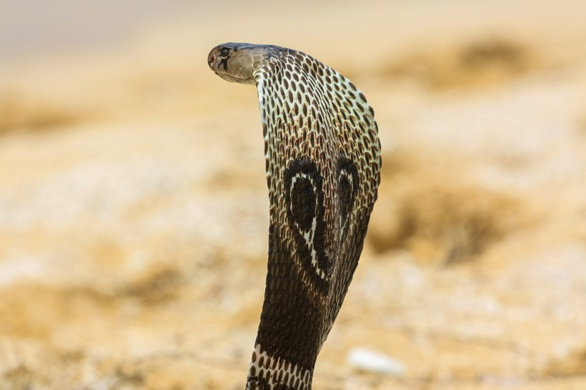 Nice Images Collection: King Cobra Desktop Wallpapers