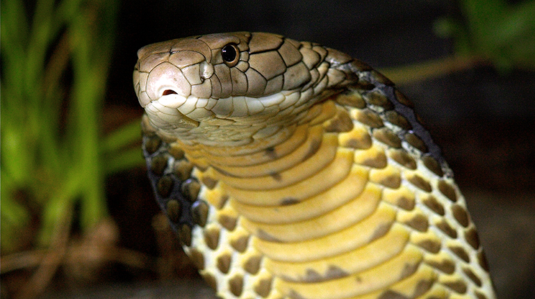 Images of King Cobra | 770x430