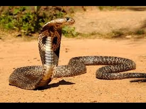 King Cobra High Quality Background on Wallpapers Vista