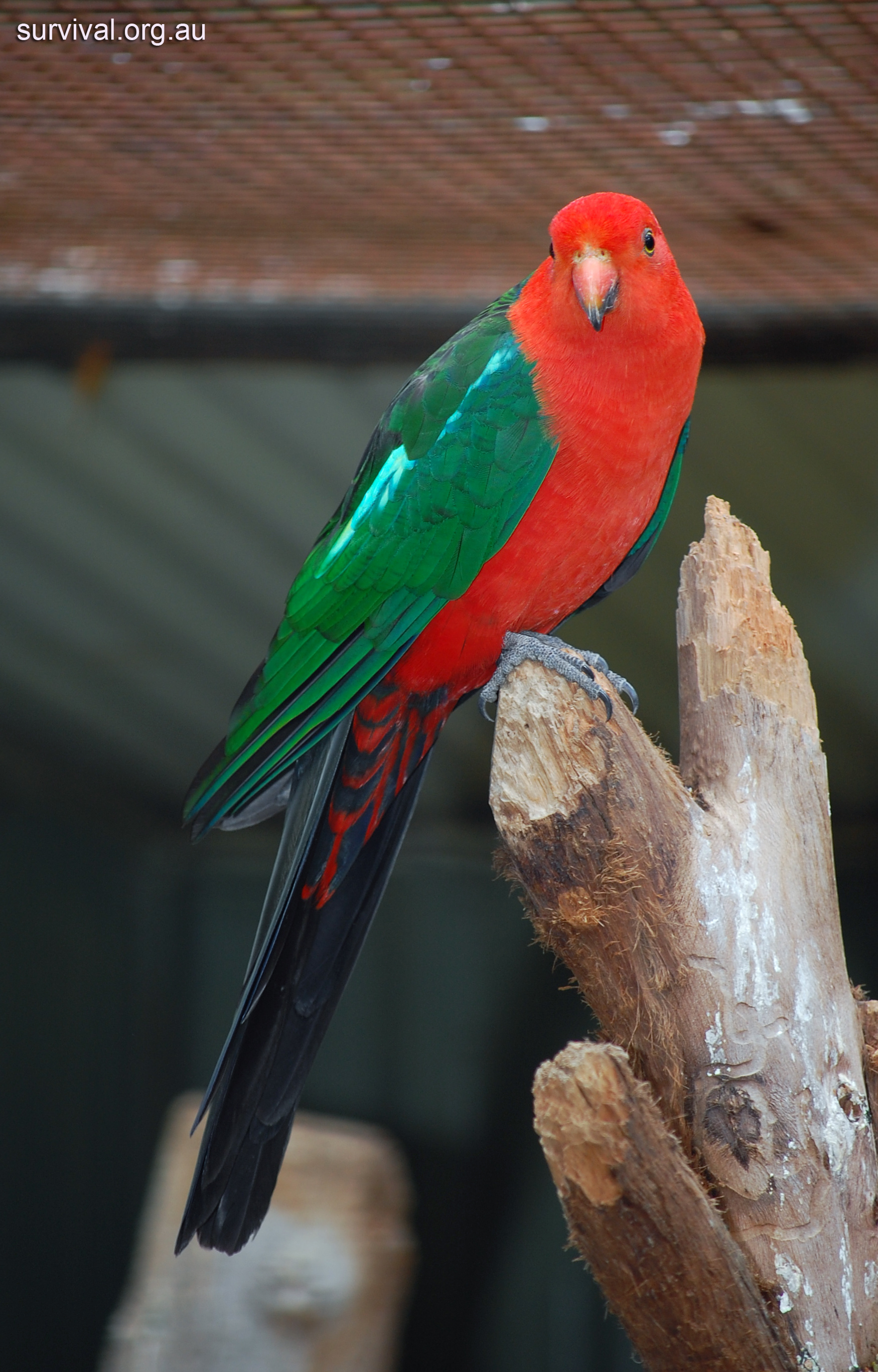 Amazing King Parrot Pictures & Backgrounds