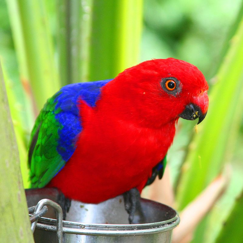 Nice Images Collection: King Parrot Desktop Wallpapers