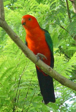 King Parrot Backgrounds on Wallpapers Vista