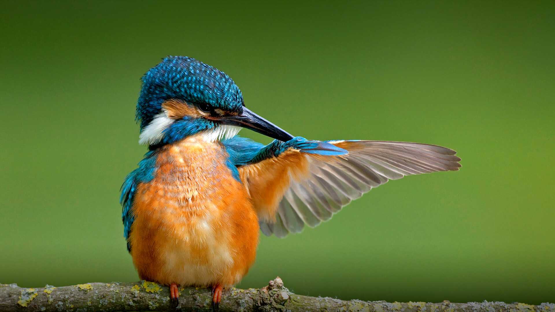 High Resolution Wallpaper | Kingfisher 1920x1080 px