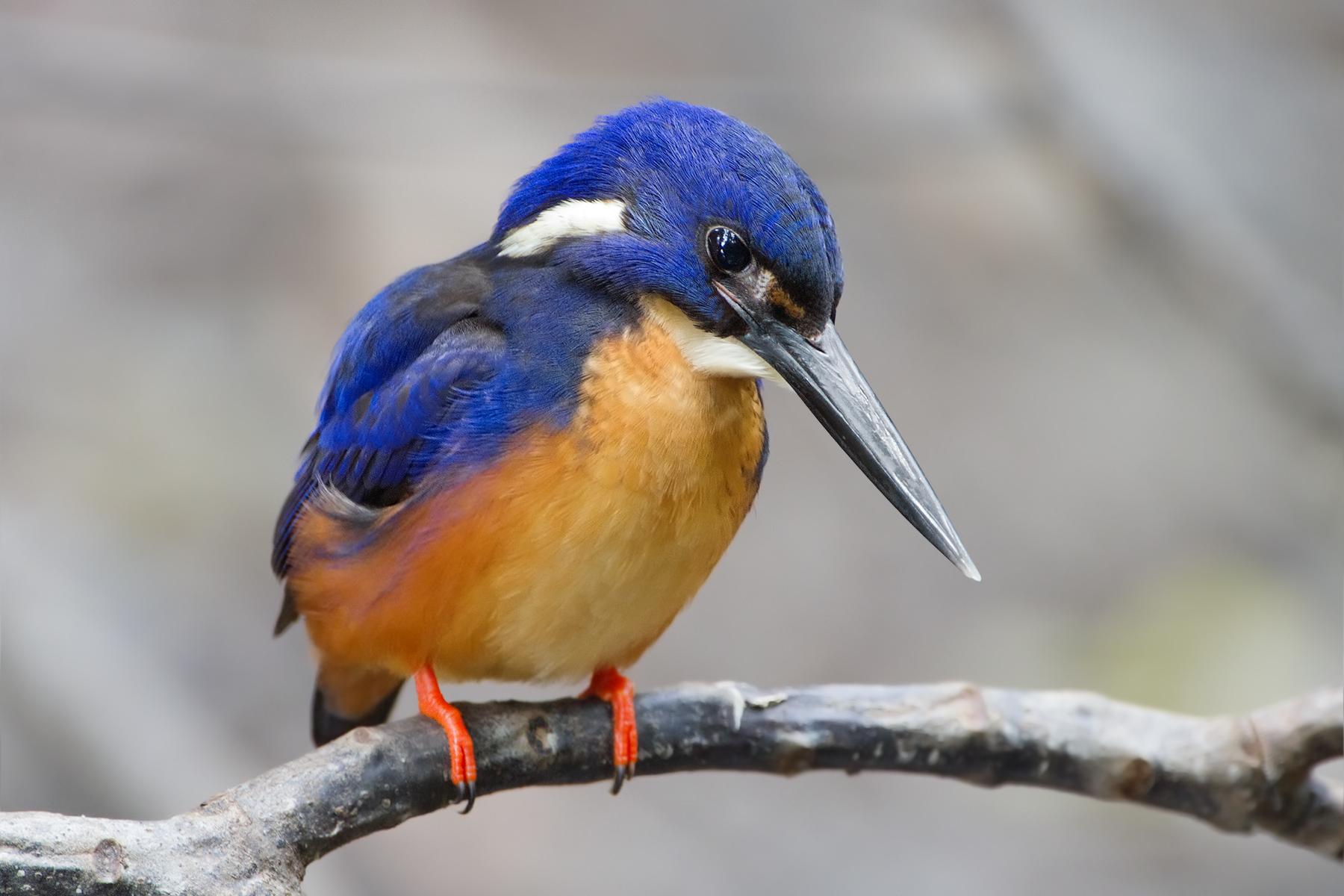 Kingfisher Pics, Animal Collection