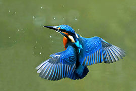 Kingfisher Backgrounds on Wallpapers Vista
