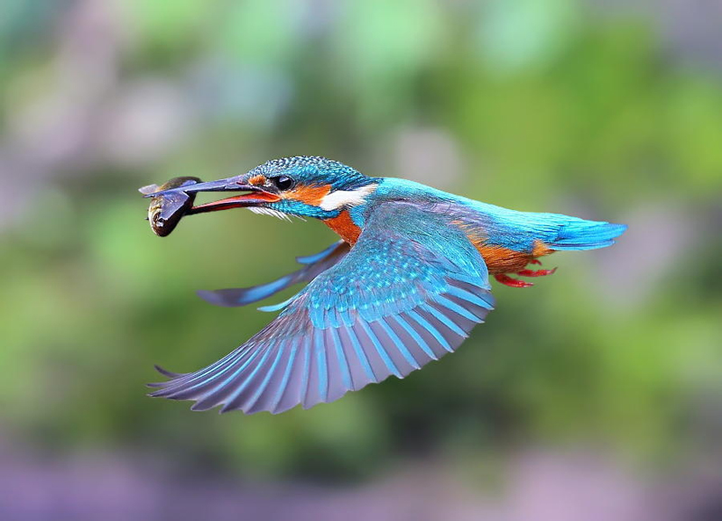 Kingfisher Backgrounds, Compatible - PC, Mobile, Gadgets| 800x578 px